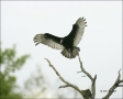 Turkey-Vulture;Vulture;Cathartes-aura;flying-bird;one-animal;close_up;color-imag